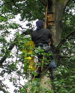 Bat boxes for roosting and nesting being fixed in place to compensate for absence of cavity trees