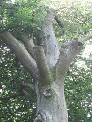 Woodpecker nests in beech and willow, the only species of fauna in Britain to excavate its own cavity